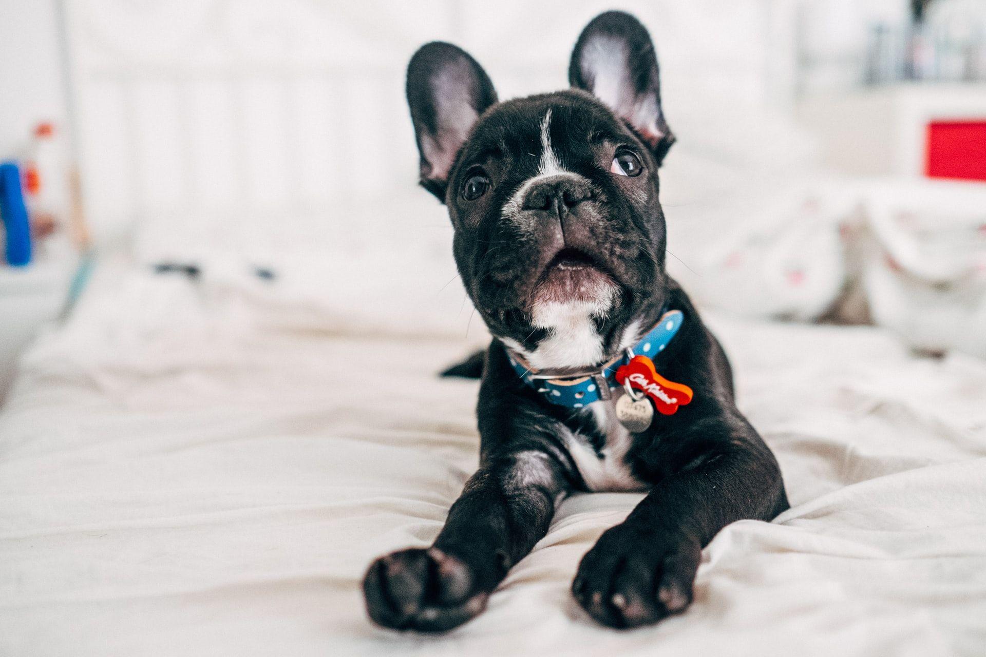 Razas de perros bulldog francés