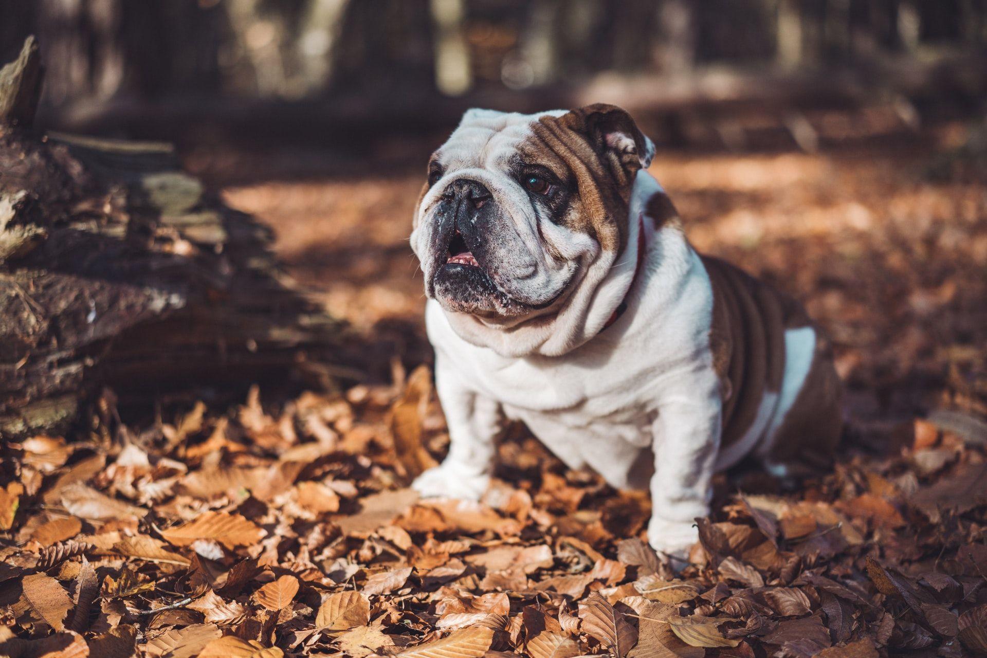 Raza de perros bulldog inglés