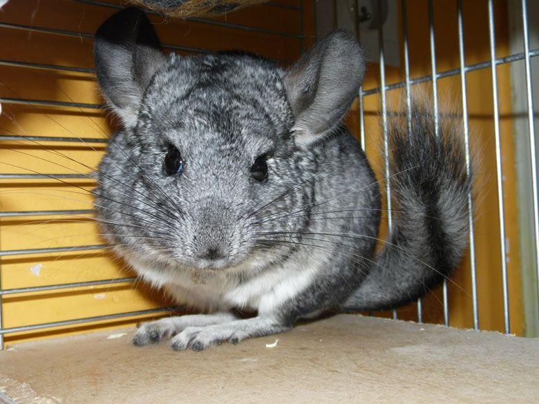 Chinchilla gris como mascota