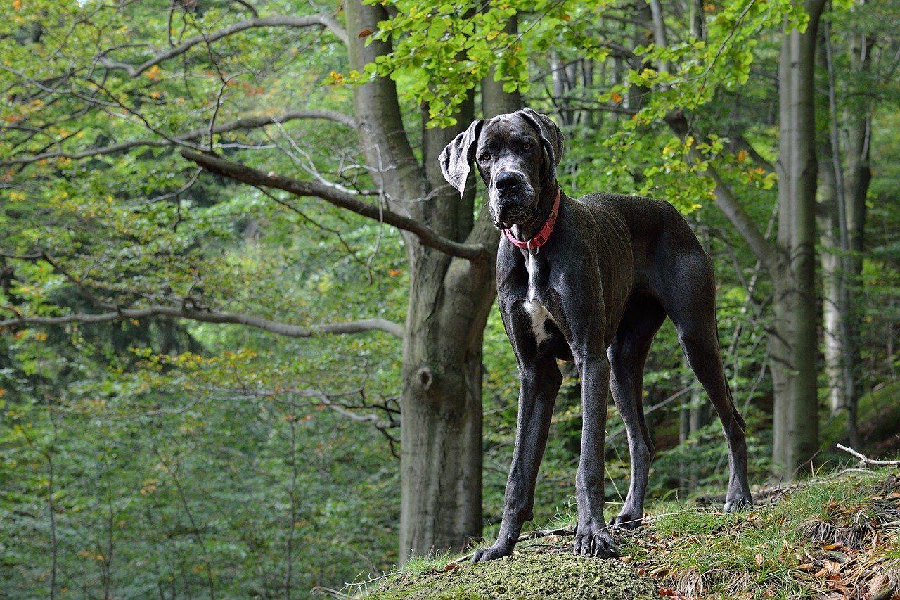 Razas de perros Gran Danés