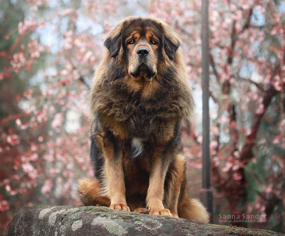 Razas de perros peligrosos: Mastín Tibetano