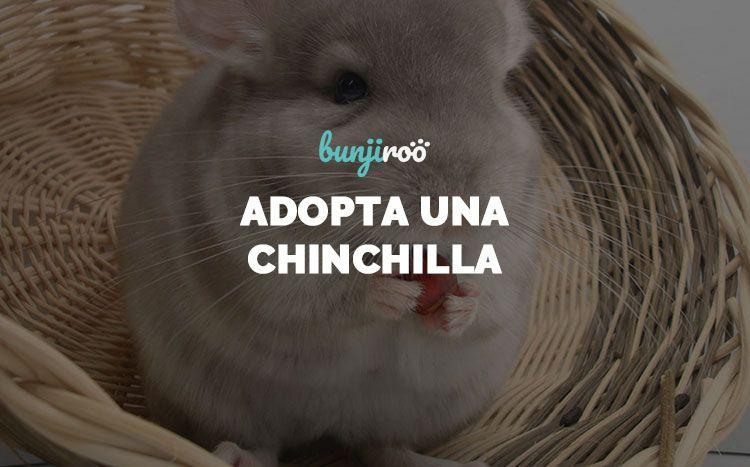 5 preguntas para tener una chinchilla como mascota
