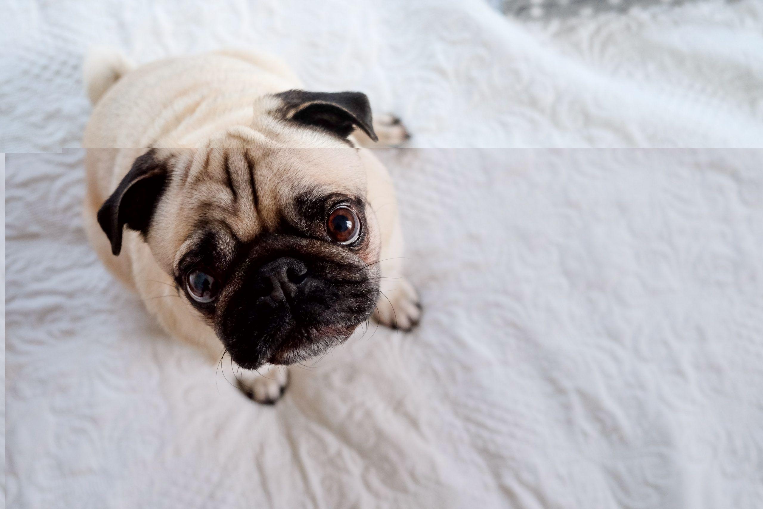 raza de perro pug