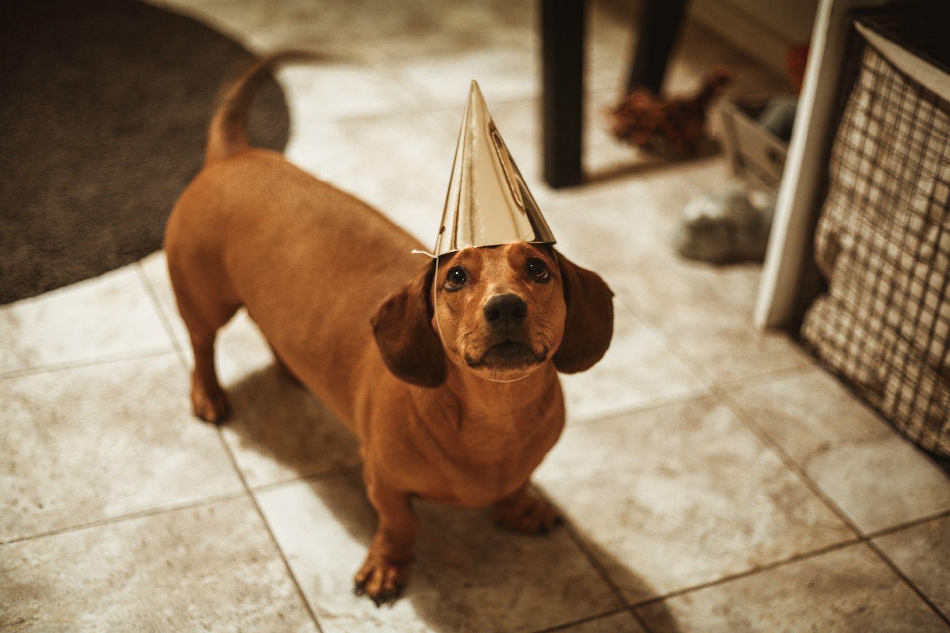 Raza de perros Teckel