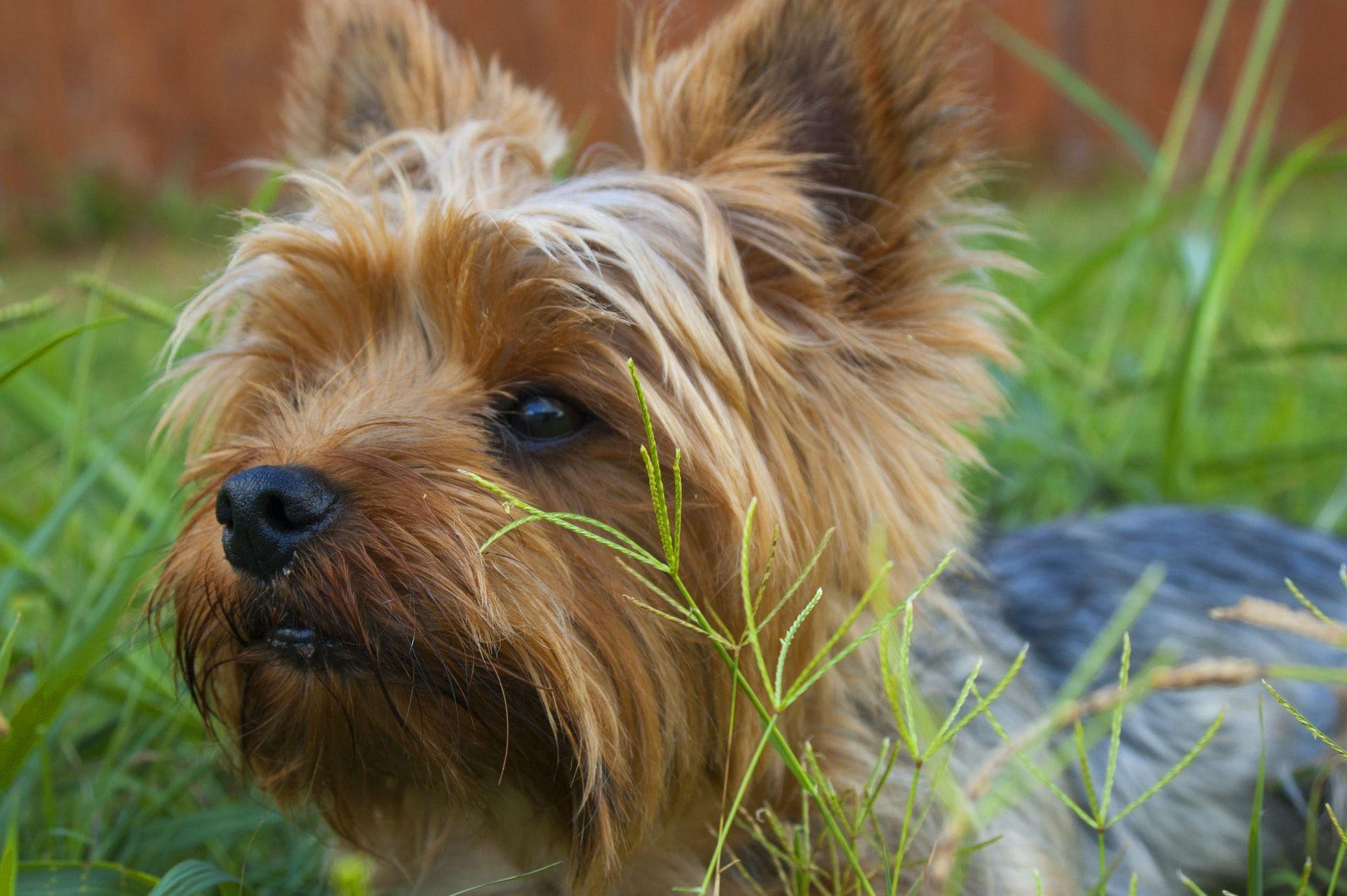 yorkshire razas de perros