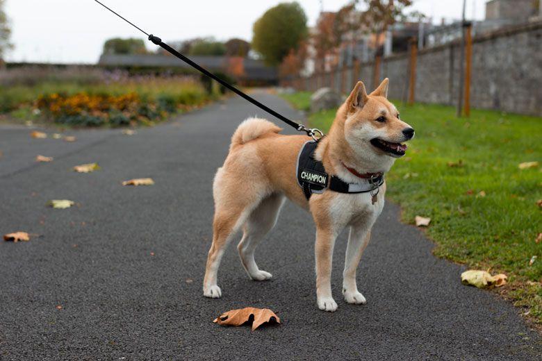 Razas de perros peligrosos: Akita Inu