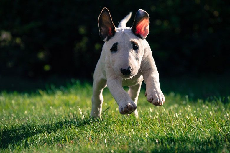 Razas de perros peligrosos: Bull terrier