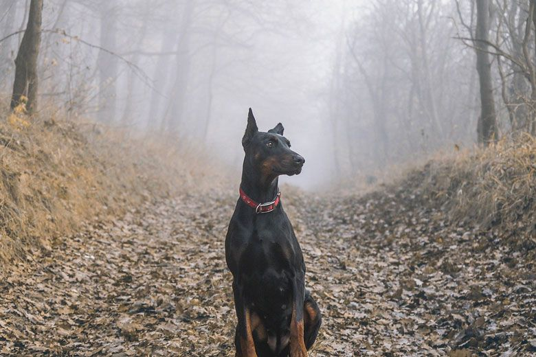 Razas de perros peligrosos: Doberman