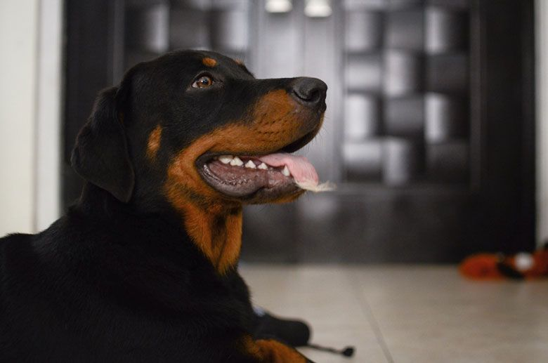Razas de perros peligrosos: Rottweiller