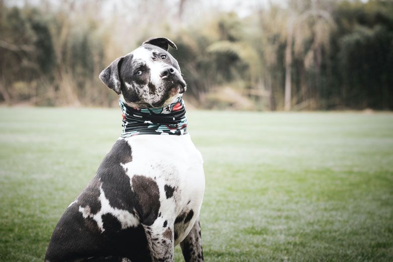 Razas de perros peligrosos: Staffordshire Bull Terrier