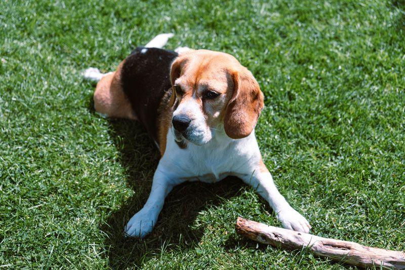 La actividad de los perros Beagle