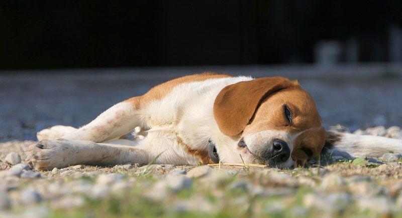Beagle descansado
