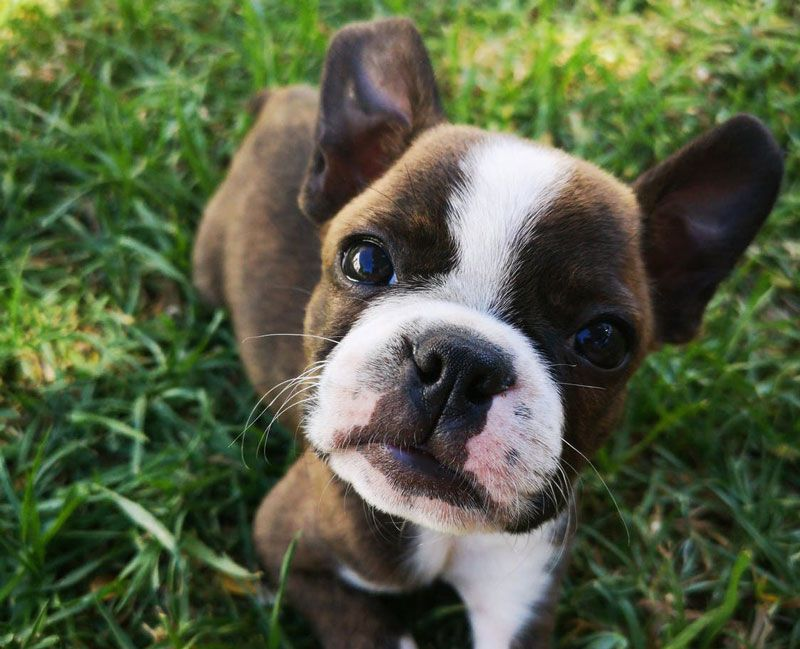 Cachorro de perros boxer