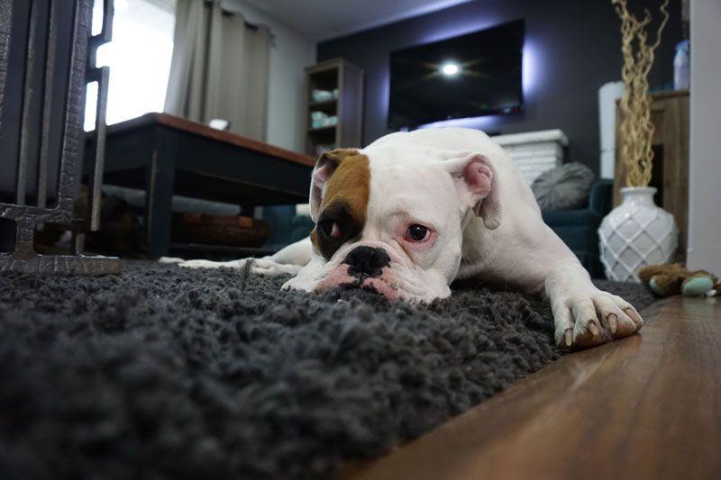 Perros bóxer en casa