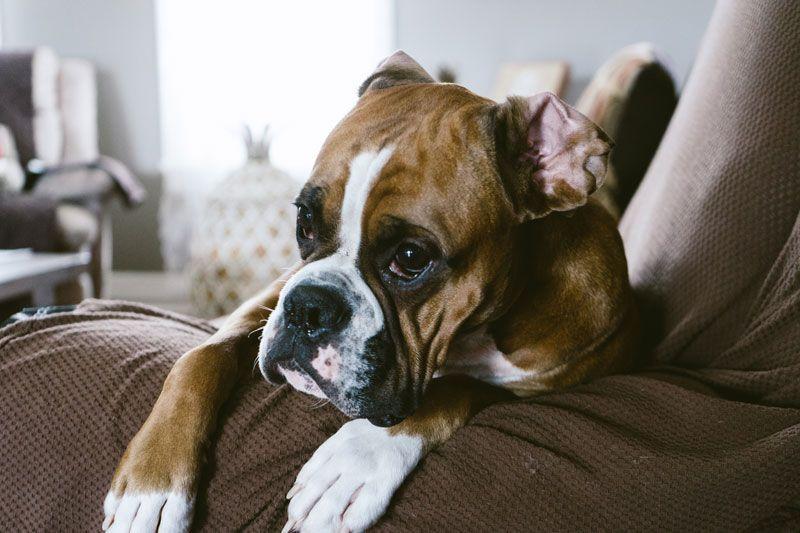 Las orejas de los perros bóxer