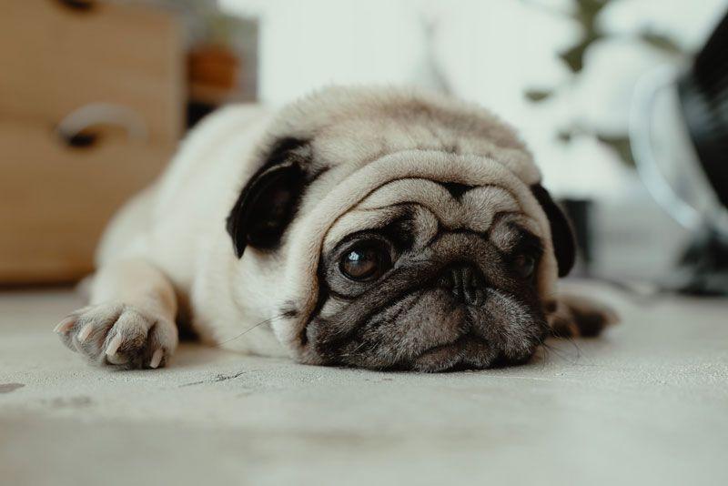 Perro Pug tumbado en el suelo
