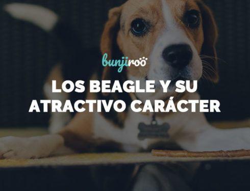 Cabecera: Como cuidar de los perros Beagle