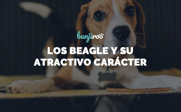 Cómo cuidar de los perros Beagle y disfrutar de su carácter