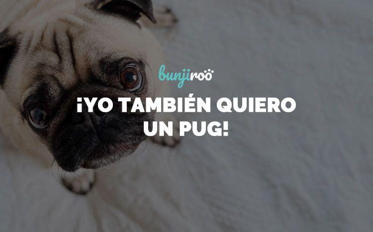 Perros Pug: todo sobre ellos y sus cuidados